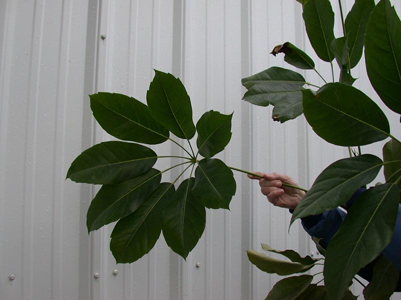تکثیر گیاهان، رویش پول