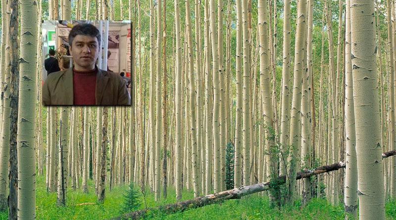 پرورش صنوبر، تجارت پرسود با درختهای تخم طلا!