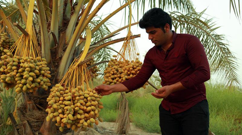 گنج در دل نخلستان/کارآفرینی موفق در حوزهی پرورش و بسته بندی خرما