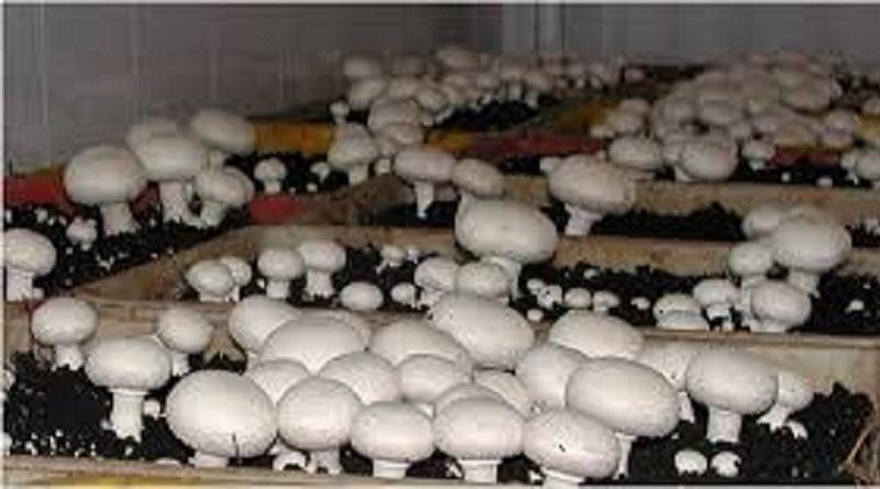 کارآفرین موفق کشاورزی؛ جوانی که با تولید قارچ میلیاردر شد