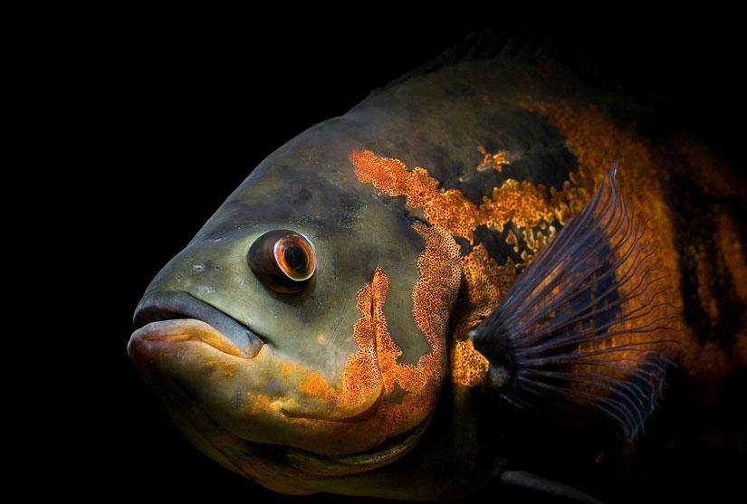 oscar-fish2