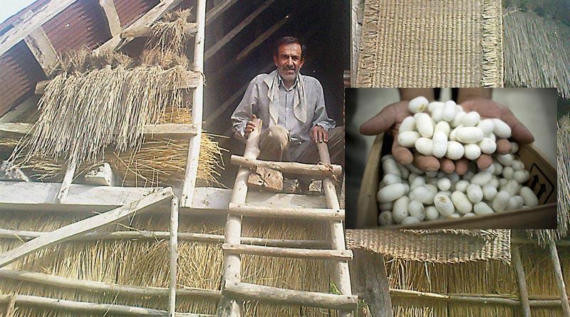 تجارت پیله ابریشم یک راه کشاورزانه برای پولدار شدن