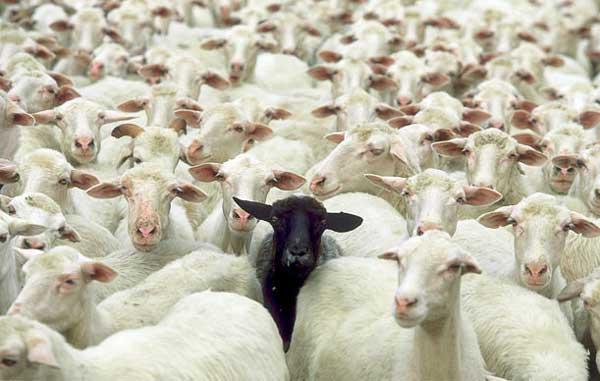 پرورش گوسفند و اهمیت آن در پولدار شدن