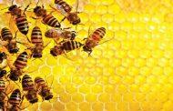 زنبورداری و تولید عسل راه بیاندازیم