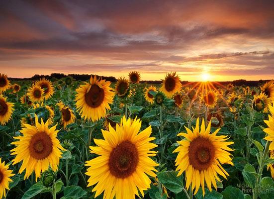 نحوهی پرورش و کشت گل آفتابگردان