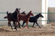 اسب، صنعت هزار میلیاردی پرسود یزدیها