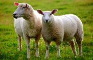 پرورش گوسفند و بره یک سرمایه گذاری بی ضرر