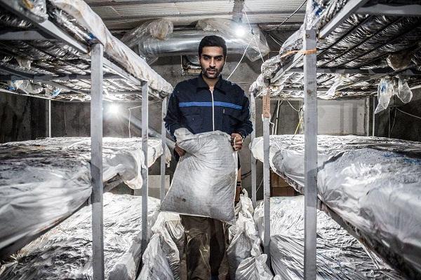 پرورش قارچ شغلی کمهزینه و پردرآمد برای جوانان است/طرحهای کم سرمایه و زودبازده