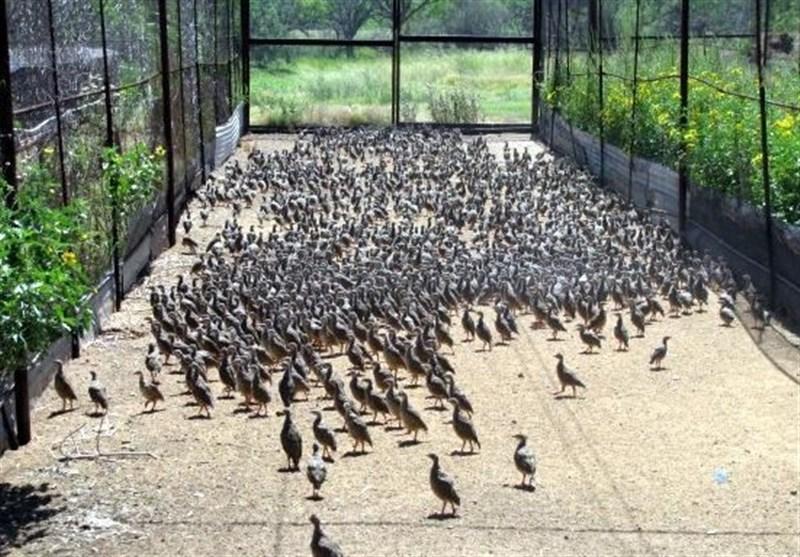 کارآفرینی با پرورش پرندهای که در ۳ ماه ۵۵ تخم میگذارد
