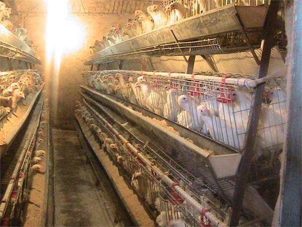 کارآفرینی که روزانه ۳۰۰ هزار تومان سود می کند/ پرورش ۳۰۰۰ مرغ تخم گذار در ۲۰۰ متر