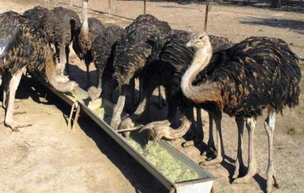 کارآفرینی که تنها با ۵ جوجه، صاحب ۷ مزرعه پرورش شتر مرغ شد