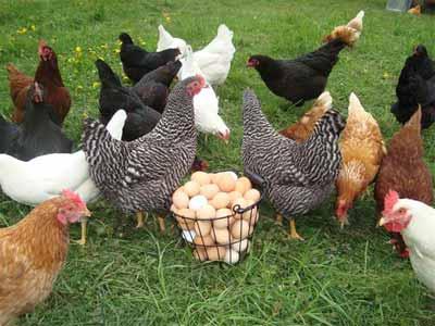 پرورش مرغ محلی با سود فراوان و سرمایه کم