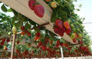 تولید سالانه صد تن محصولات گلخانه ای توسط بانوی خوشفکر بسیجی خدابنده ای
