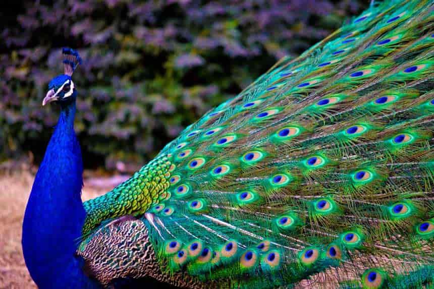 قصه معصومه خانم و پرورش طاووس و کسب و کار پررونق