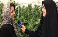 سکان رونق تولید در دستان تنها بانوی گلخانهدار استان قزوین/ کارآفرینی که سالانه ۲۰۰تن محصولات کشاورزی صادر میکند