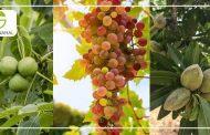 معرفی سه نهال پر سود نهال گردو ، نهال بادام و نهال انگور