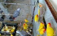 کسب درآمد ماهانه سه میلیون تومان با پرورش پرندگان زینتی در حیاط منزل